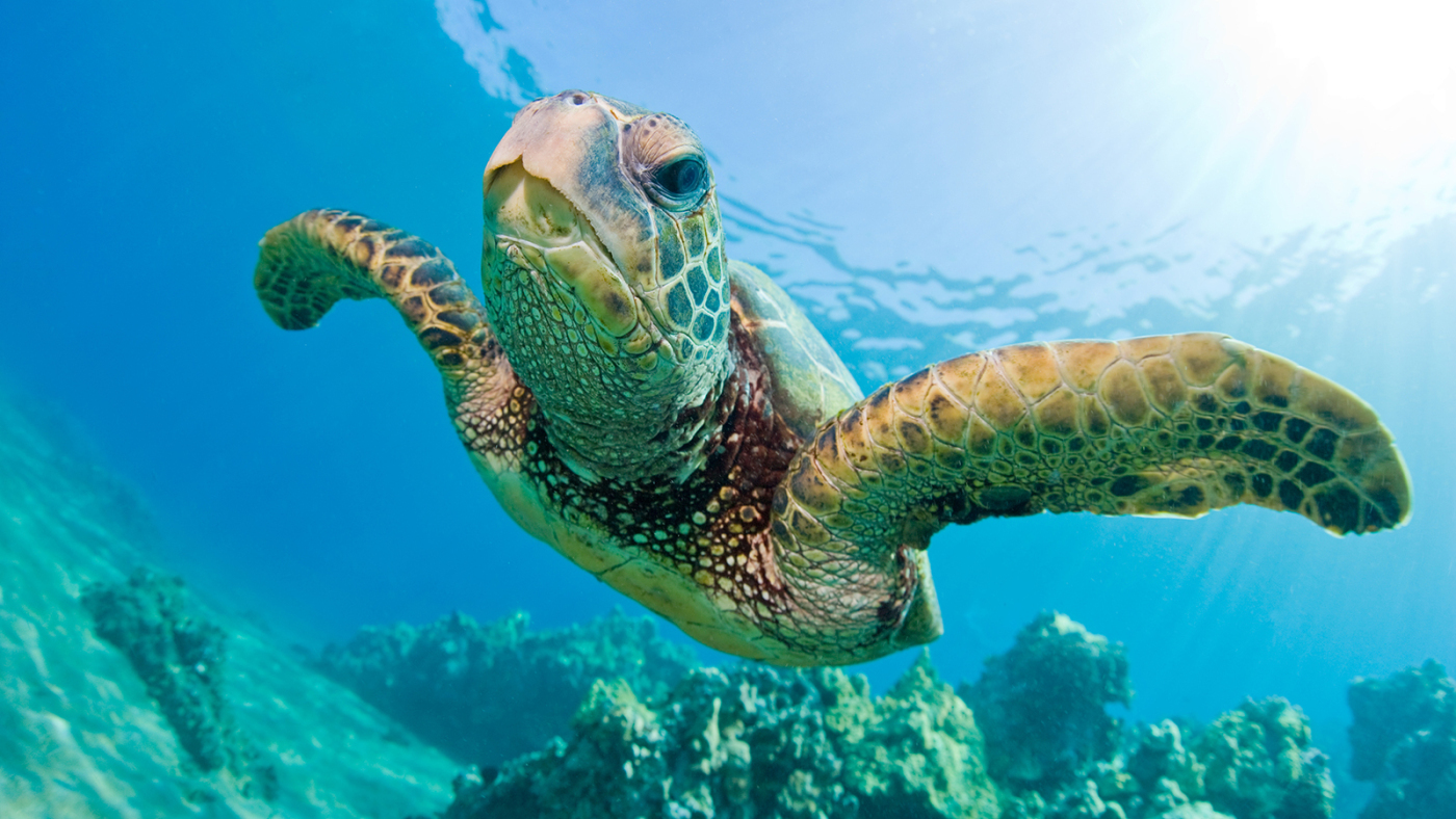 green-sea-turtle-swimming